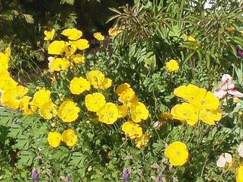 Yellow poppies mightylinksfo