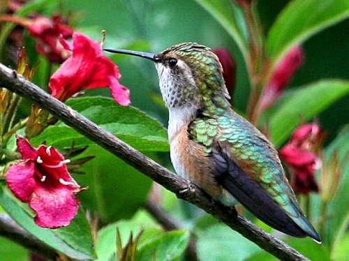 Flower Hummingbirds Attracted Hummingbird Weigela Flowers