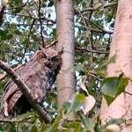 Owl #3 Great Horned Owl