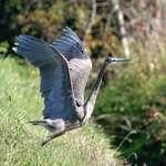 Angel Wings of the Heron