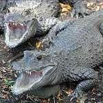 Dwarf Crocodiles