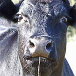 Beef On the hoof