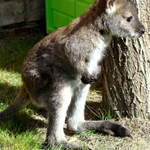 Skip The Wallaby