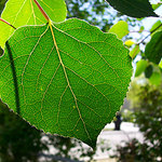 Aspen Leaf