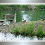 Canada Geese Relaxing