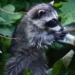 Baby Raccoon Standing