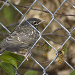 Baby Robin in the Fence