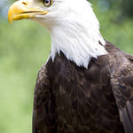 Bald Eagle Left Profile