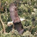 Bald Eagle - huge wingspan