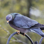Band Tailed Pigeon beauty