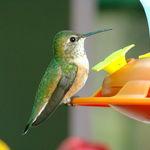 Banded Hummingbird
