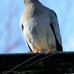 Band Tailed Pigeon, (type of Dove)