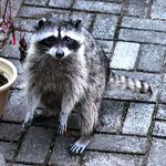 Battle Scarred Mama Raccoon