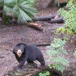 Malaysion Sun Bear