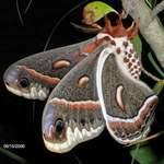 big beautiful moth