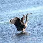 heron landed