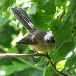 Fantail #3