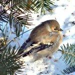 Finch in snow