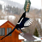 Magpie Stealing Food