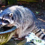 Blind Mama Raccoon, drinking