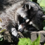 Blind Mother Raccoon resting