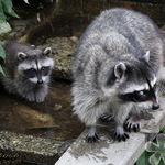 Blind Raccoon with Baby