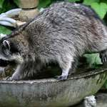 Blind Raccoon leaving fountain