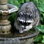 Blind Raccoon at our fountain