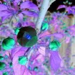 Apple Blossom Inverted