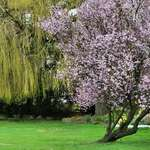 Blossoms & Weeping Willow, March 2007