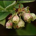 Blueberries in Dew