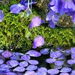 Blue Petals, Raindrops and Moss