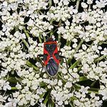 Bug on Lace