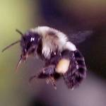 bumble bee flying