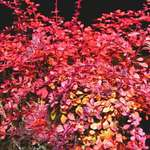 "Burning Bush - Japanese Barberry ""Rose Glow"""