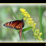 Queen Butterfly Feeding On Yellow Flower