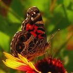 Butterfly on Firewheel 1
