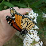 My pet Monarch