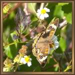 Common Buckeye at Oasis Visitor Center