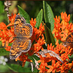 Butterfly Weed with Butterflies
