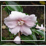 Camellia with Dewdrops