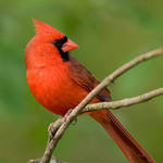 Cardinal