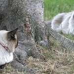 Birman Cats - Wayfaring Pals under Tree
