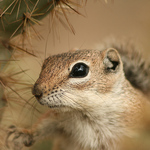 Chipmunk In Cactus