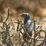 Chipmunk In Cactus