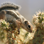 Chipmunk On Cholla Cactus