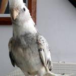 White face bird