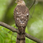 Cooper&#39;s Hawk