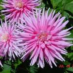pink dahlias