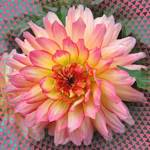 Dahlia - A Single Beauty